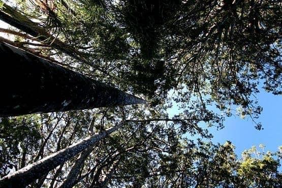 Kauri forest canopy