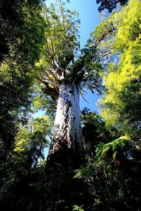 Ancient trees of New Zealand's far north