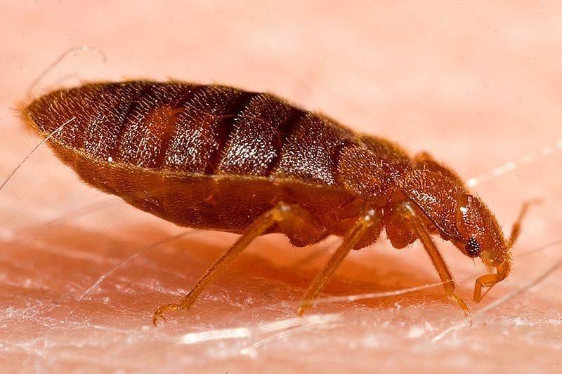 800px-Adult_bed_bug,_Cimex_lectularius