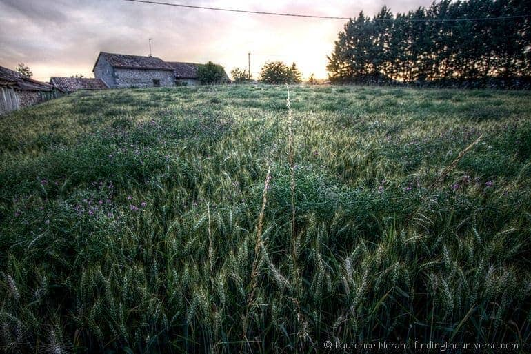 Sunset wheat stalk