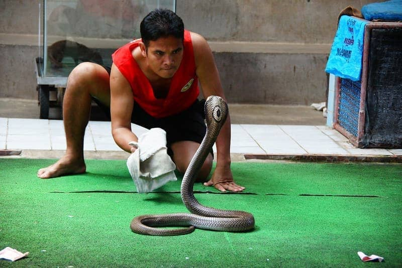 Man vs Snake - the intensity of the situation - Thai Snake Show Performance