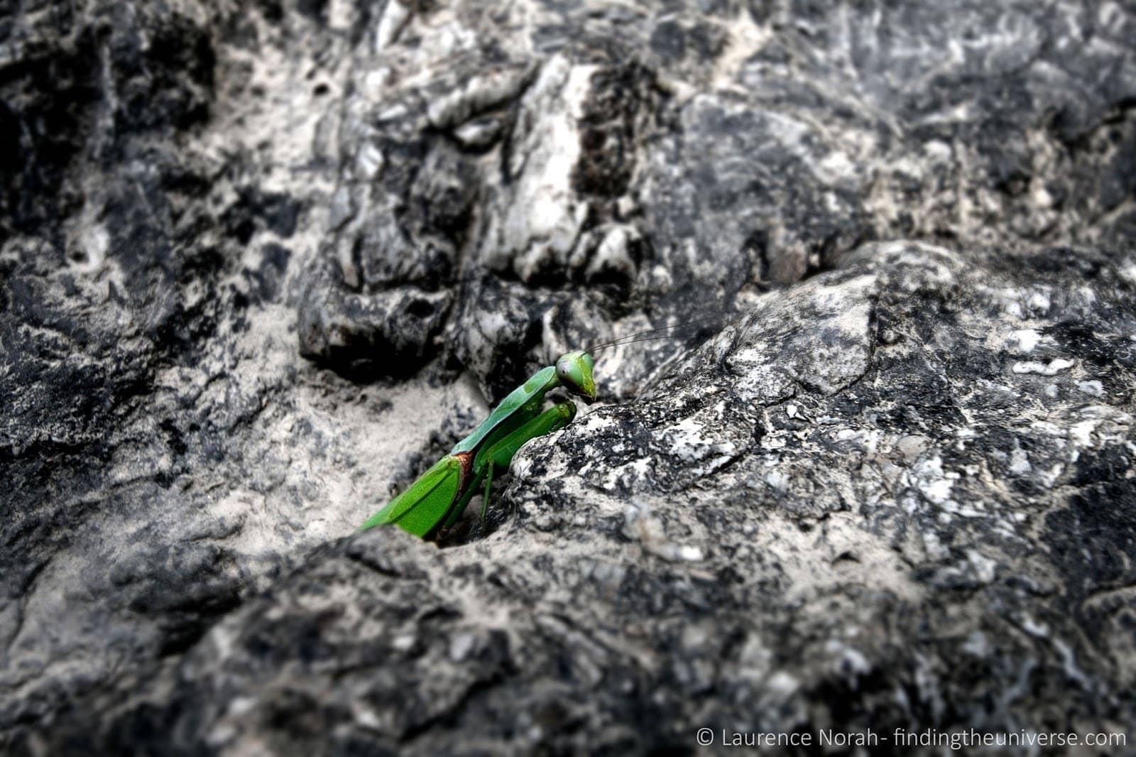 Praying mantis Thailand