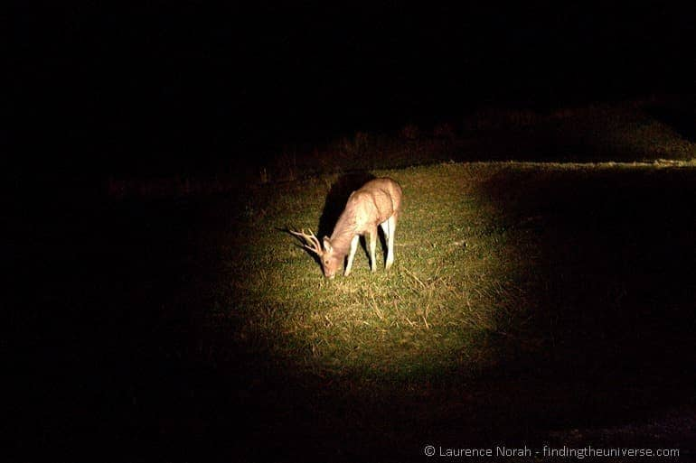 Deer night spotting safari khao yoi thailand