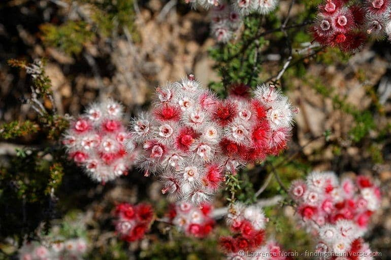 red and white wildflowers western australia