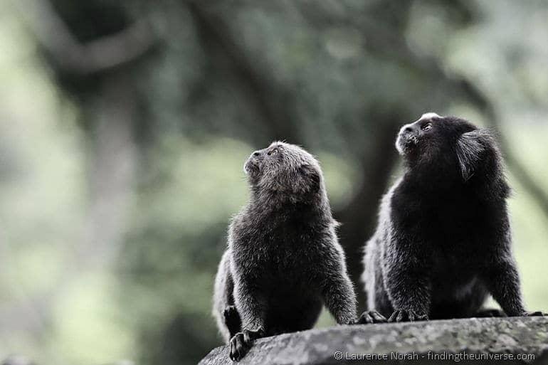 Marmoset monkeys rio brazil