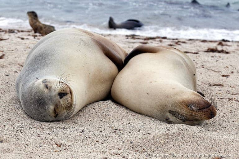 Smiling sea lions in the Galapagos