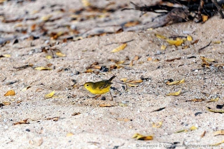 Yellow warbler Galapagos