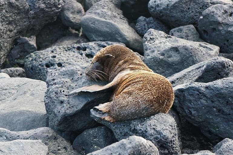 baby sea lion sleeping on a rock galapagos