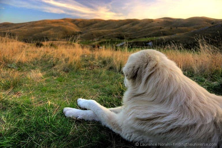 sheep dog guarding hills Abruzzo Italy