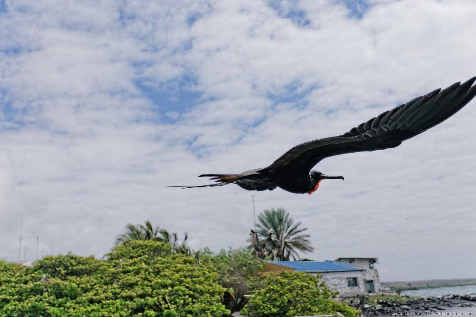 Male frigate bird flies past Galapagos