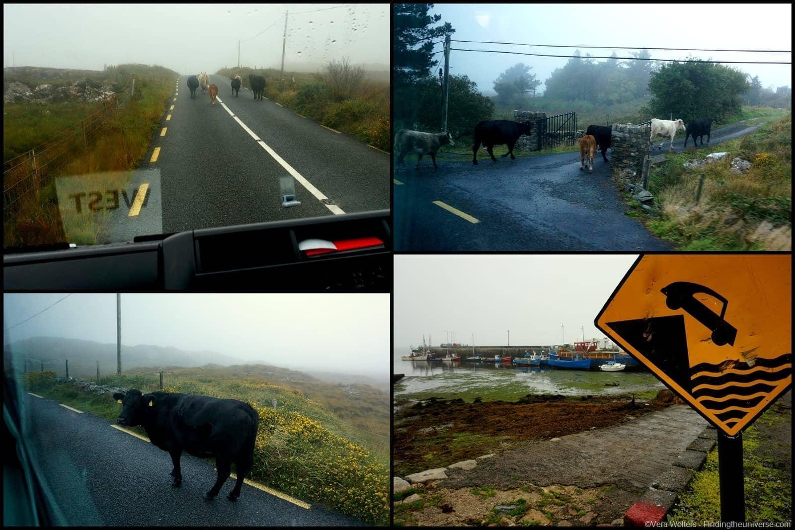 Cow jam - Connemara, Ireland