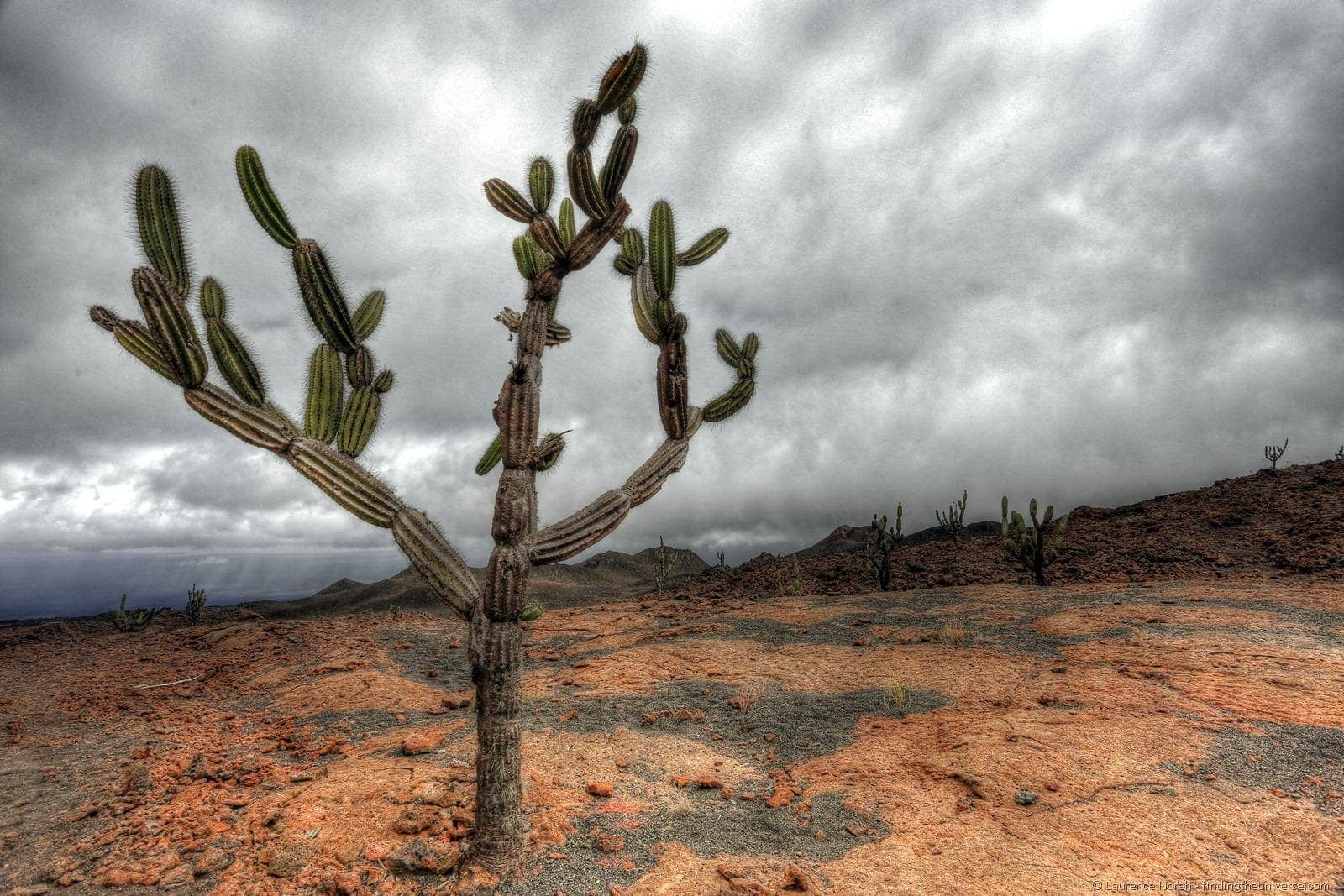 cactus on sierra negra volcano galapagos