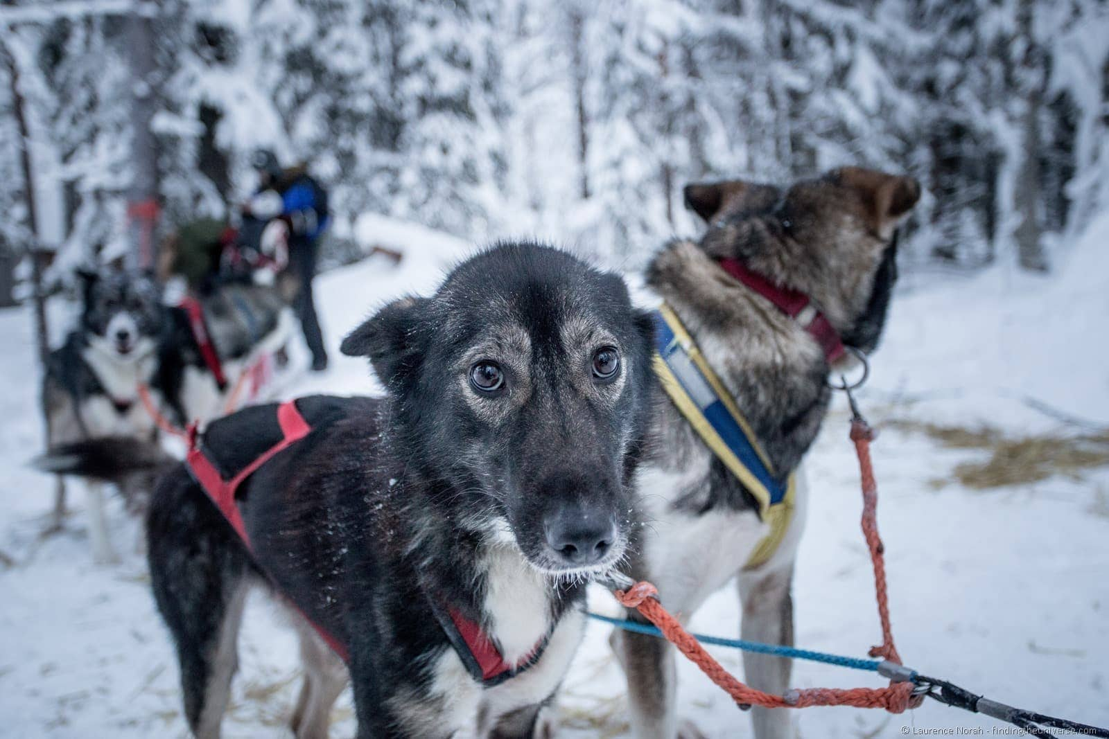 young husky attached to sled finland lapland