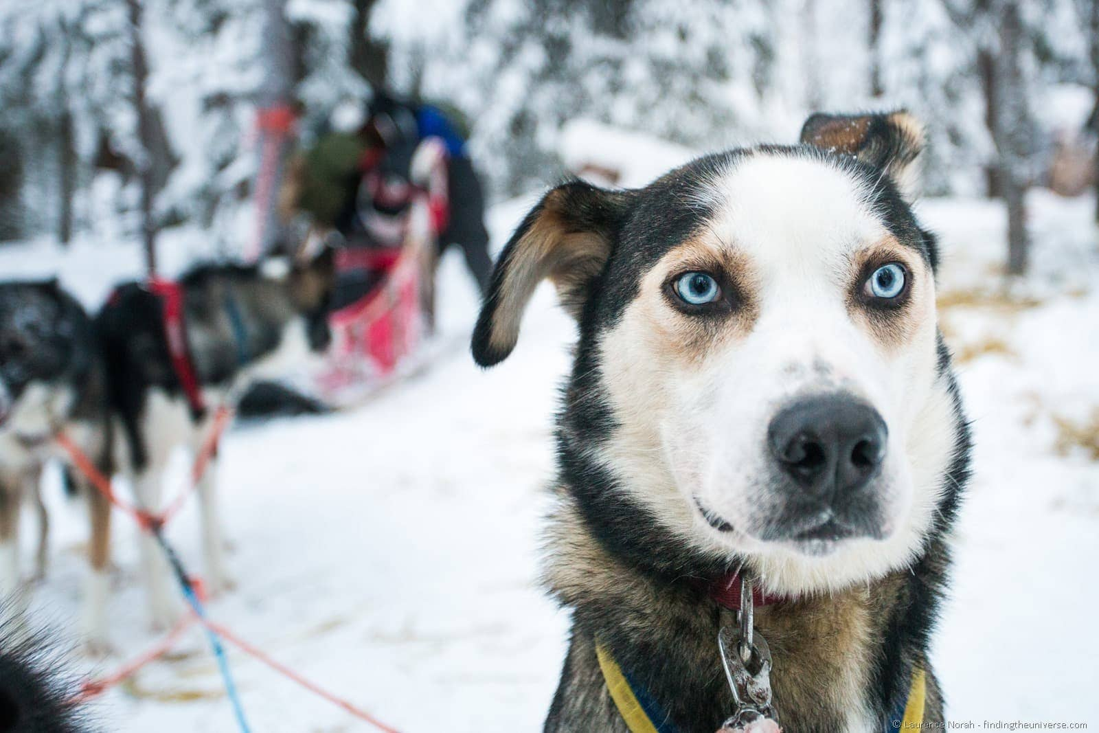 Husky dog Lapland blue eyes