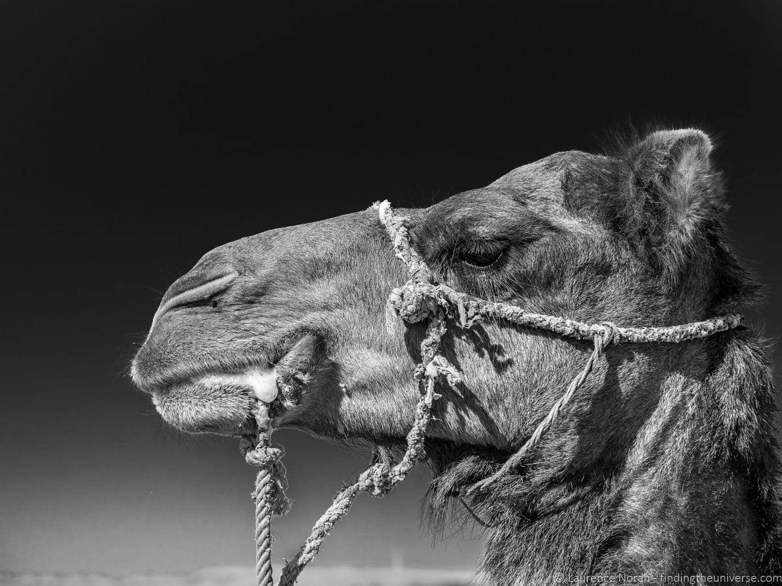 Camel profile black and white Morocco