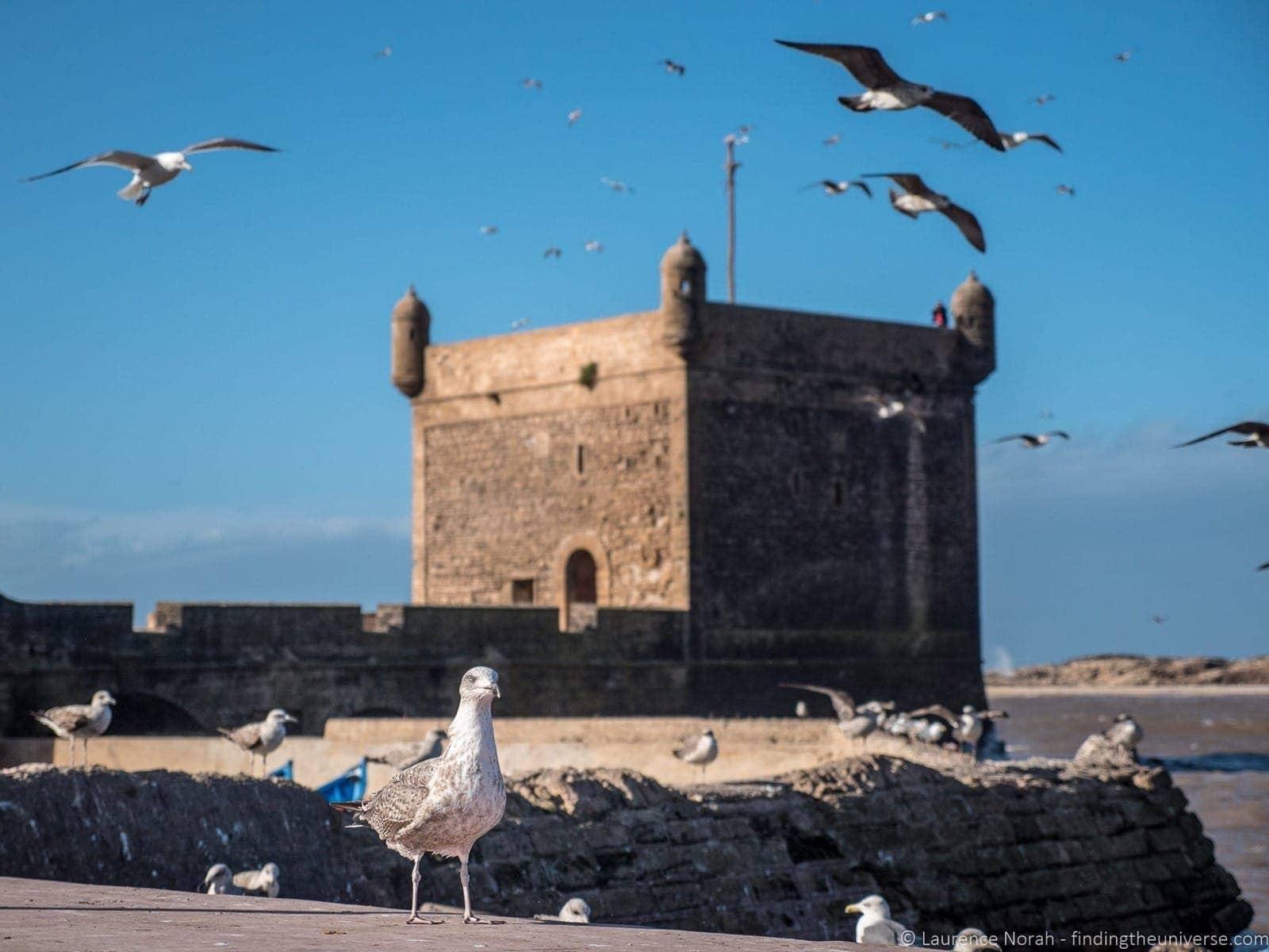 seagull Essaouira Morocco