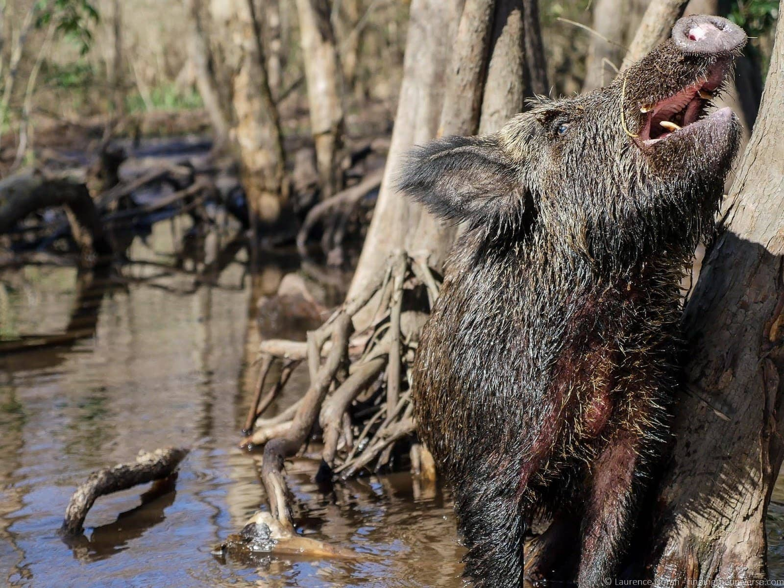 Cajun Enounters wild pig