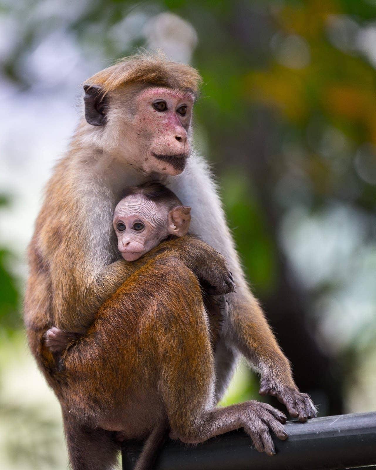 Monkey family Sri Lanka