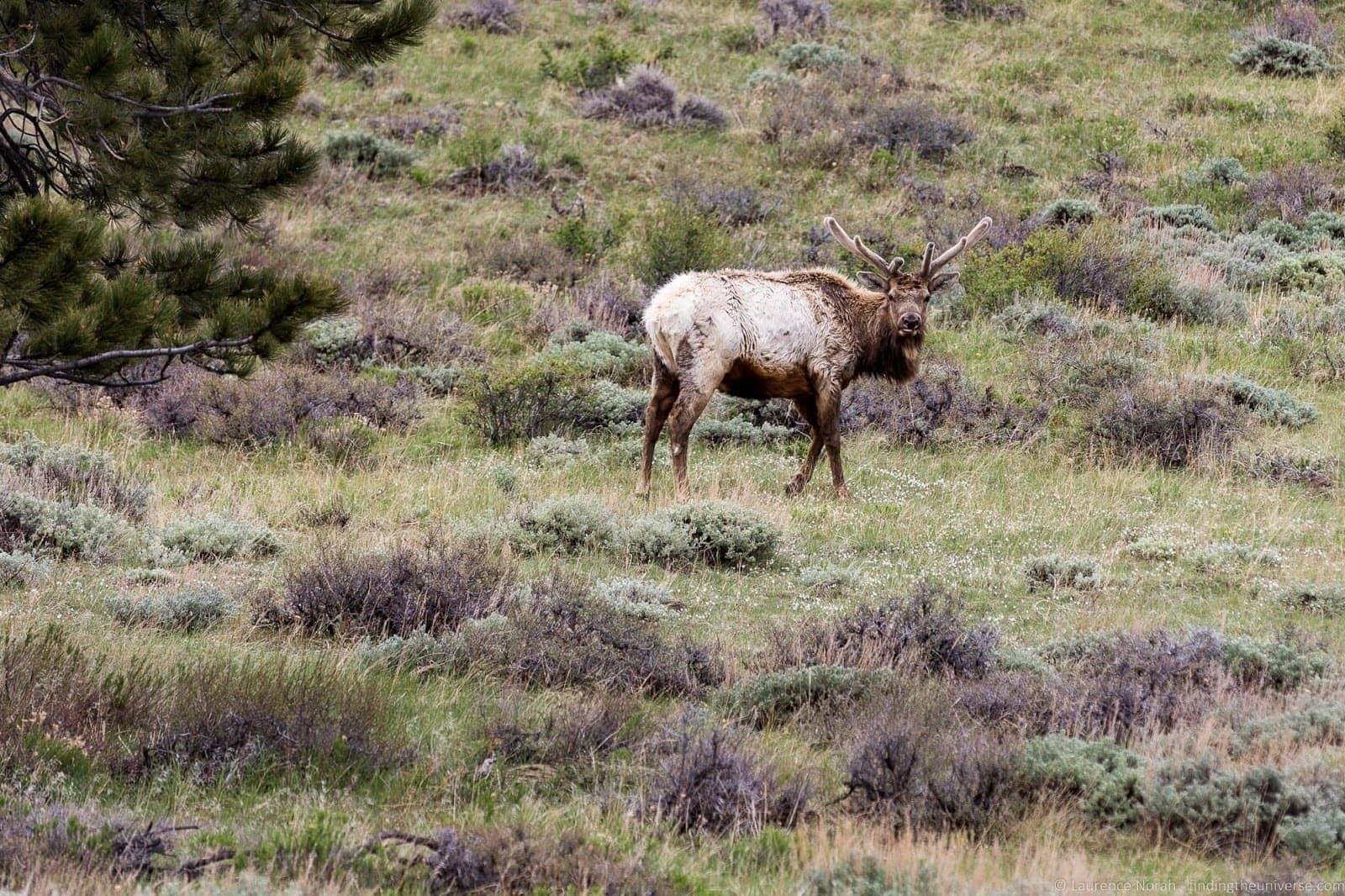 Rocky Mountain National Park Colorado Deer 3