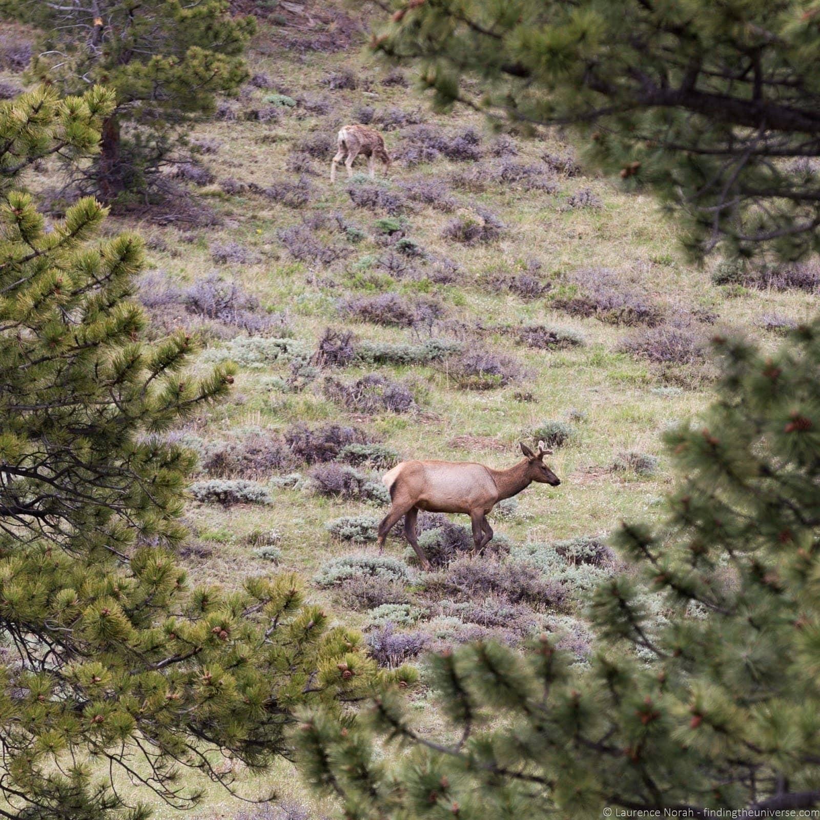 Rocky Mountain National Park Colorado Deer