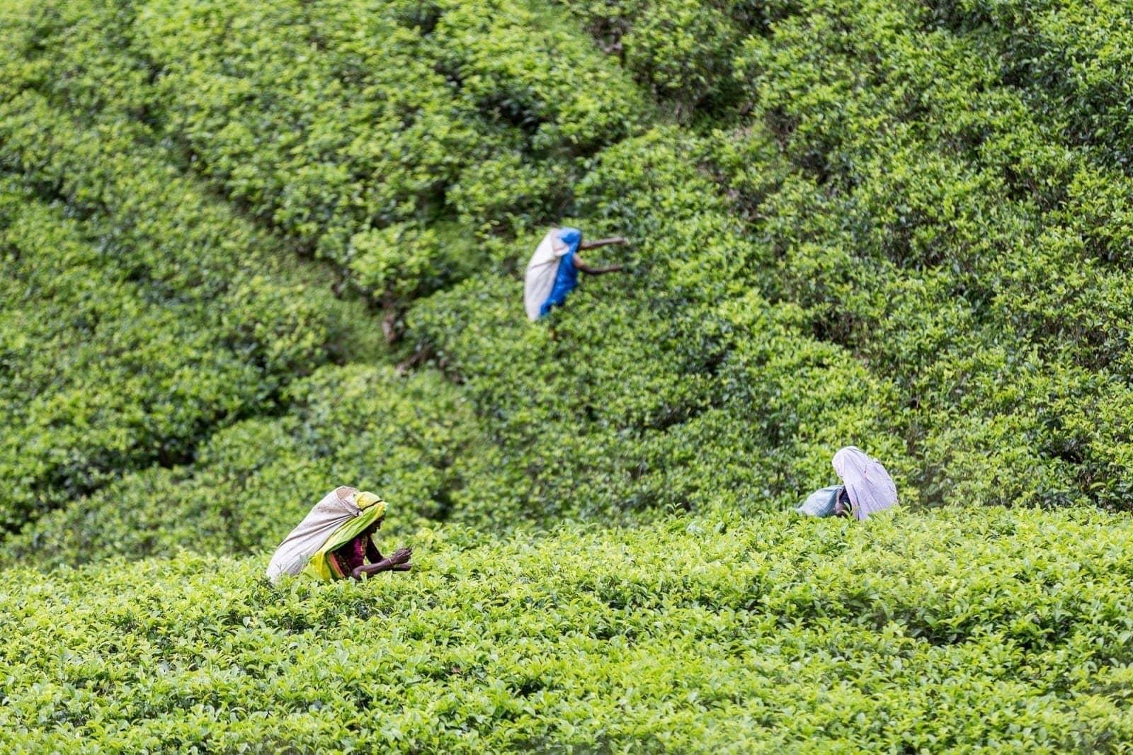 Tea pickers Sri Lanka 1