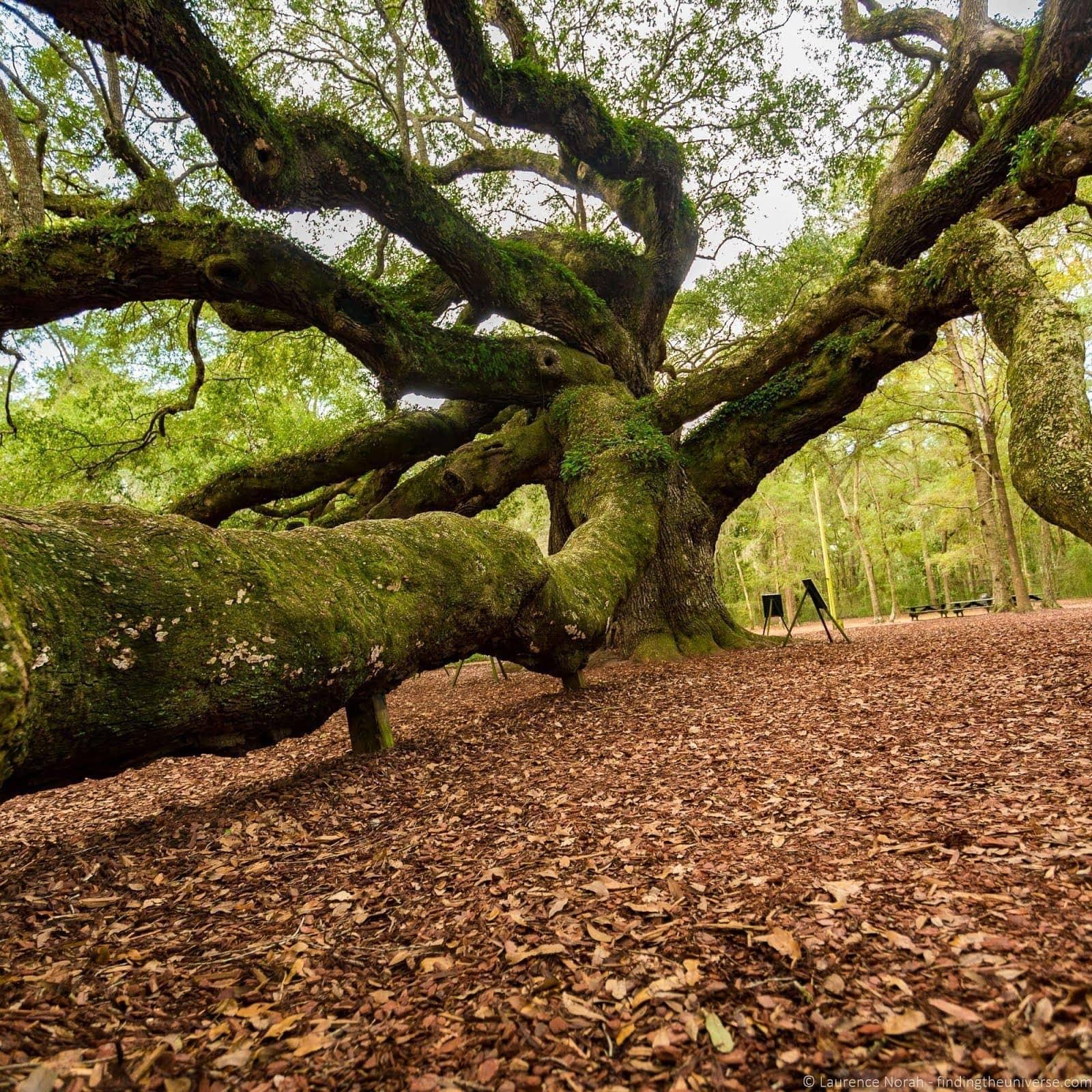 Angel Oak Tree%252C Charleston_by_Laurence Norah