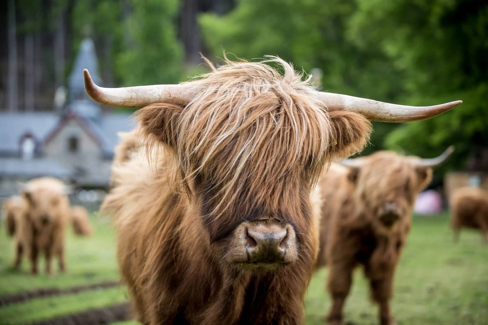 Highlands Cows Braemore Square Country House B & B