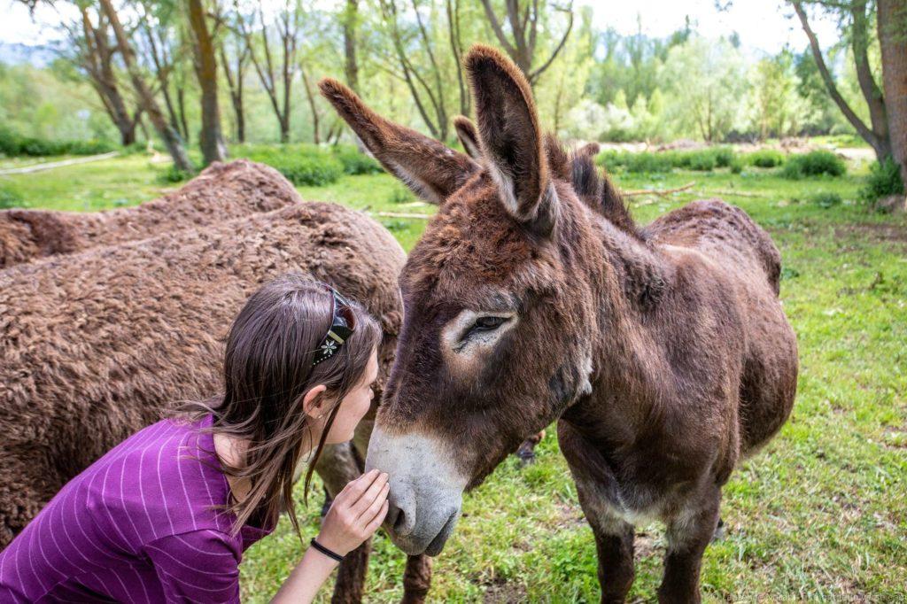 Catalan donkeys Rucs i Aventures La Cerdanya