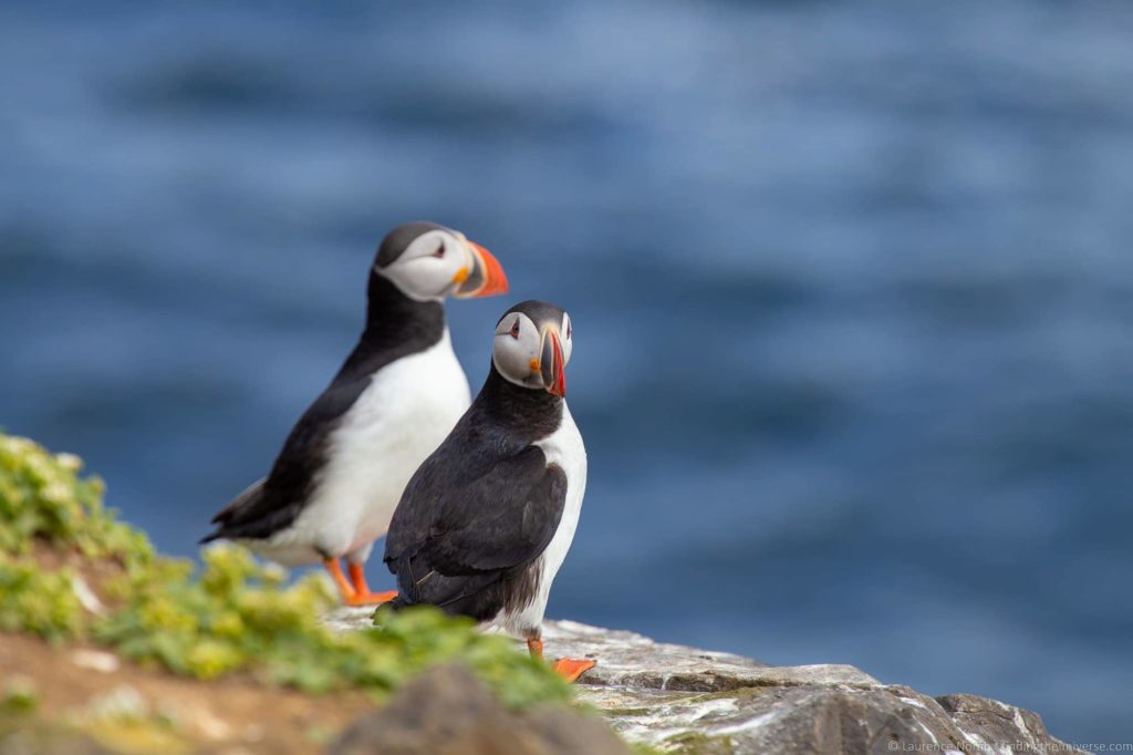 Tours of Iceland - Puffins Iceland