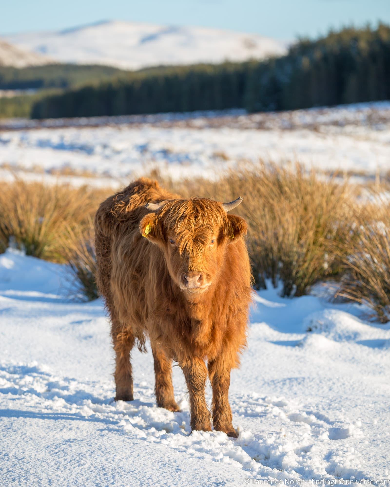 Snowy highland coo