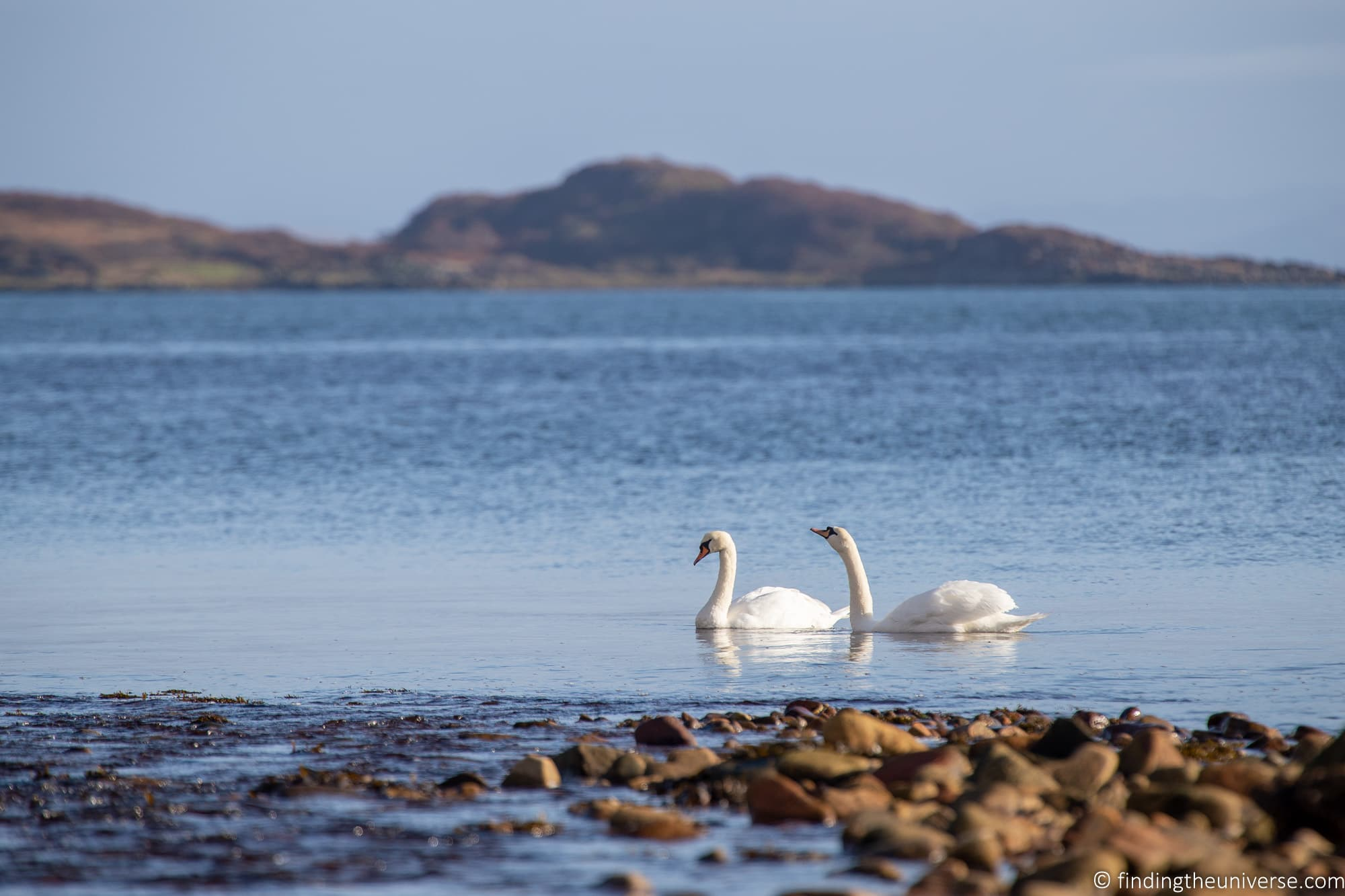 Swans on Jura