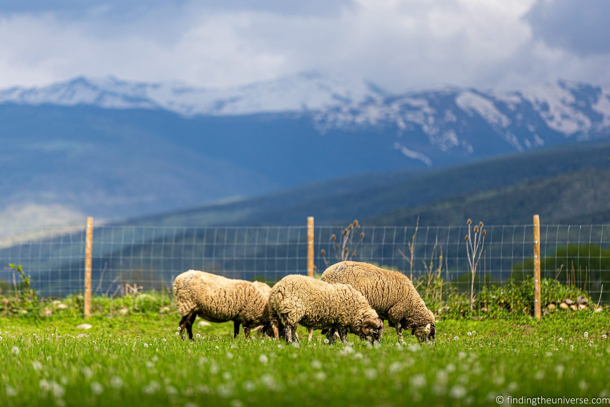 Sheep bokeh