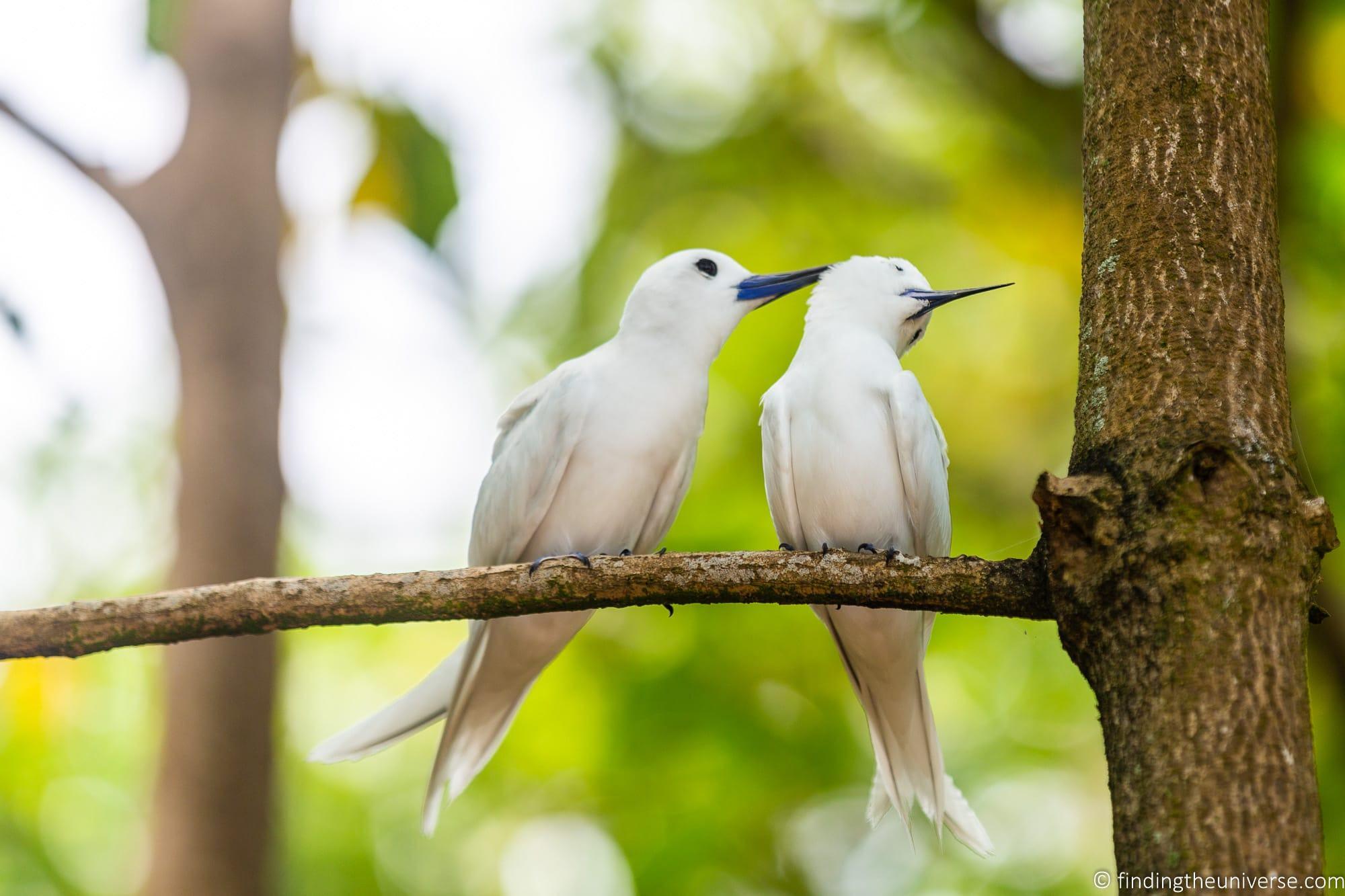 Fairy terns